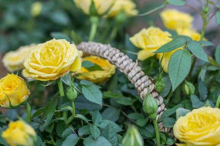 Floraison roses Banque d'images - 98262817