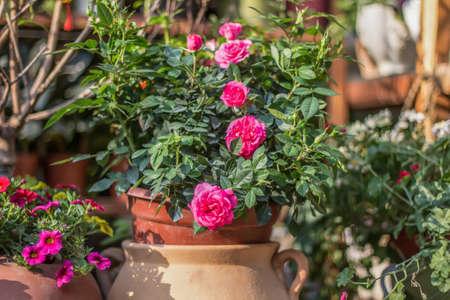 Floraison des fleurs dans un pot de fleurs Banque d'images - 98262863
