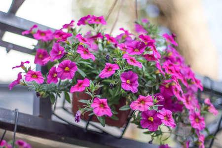 Fleurs suspendues dans un pot de fleurs Banque d'images - 98262864