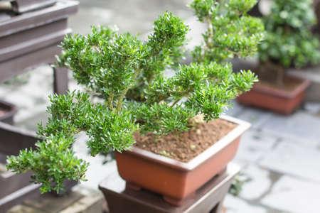 Un arbre en pot délicate Banque d'images - 98262977