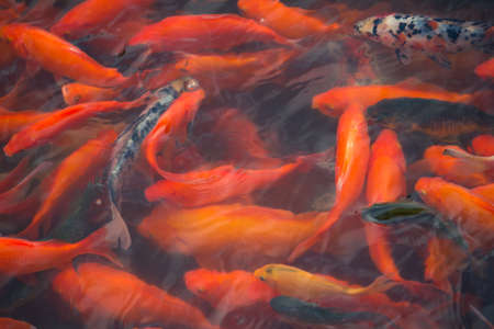 chinese fish in a pond in China Archivio Fotografico