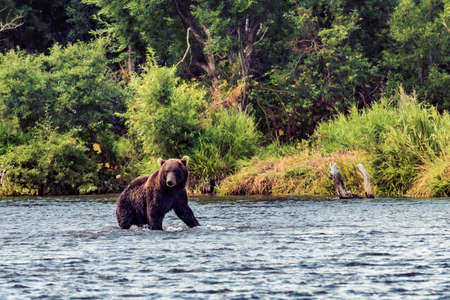 A brown bear in the water in Kamchatka, Russia Archivio Fotografico
