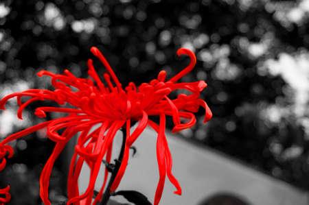 vermeil: chrysanthemum in red