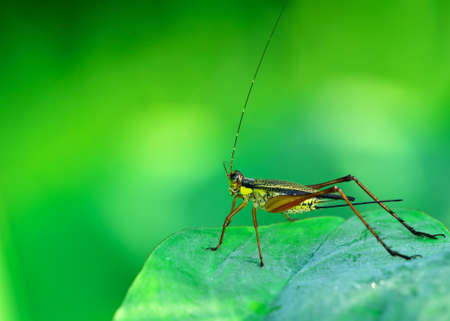 hexapoda: grasshopper who was perched on the leaf Stock Photo