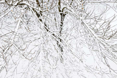 Trees covered with snow, cold winters.