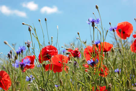 Red poppies and cornflowers on the blue sky background, close up.