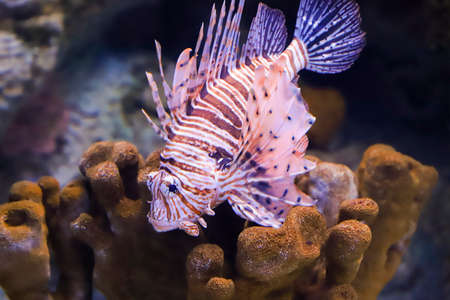 Lion fish in the dark water, close up. Stock Photo