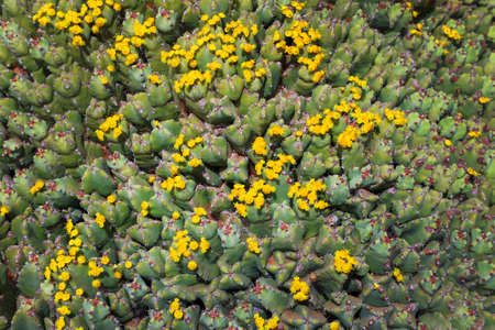 Blooming prickly cactus in the desert.