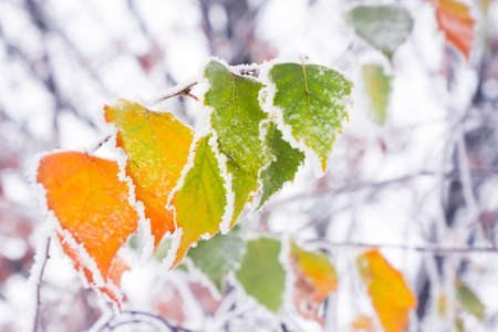Bright autumn leaves covered with the first snow. The first frost.