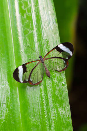 Glasswing butterfly (Greta Oto) on a green leaf.
