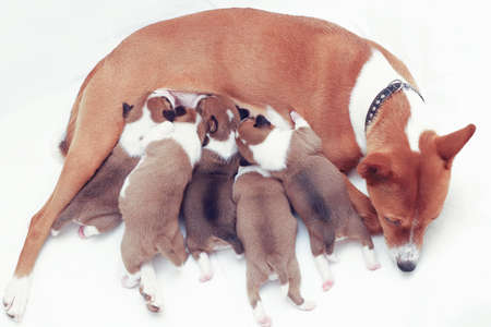 Basenji dog feeding her puppies at home 写真素材