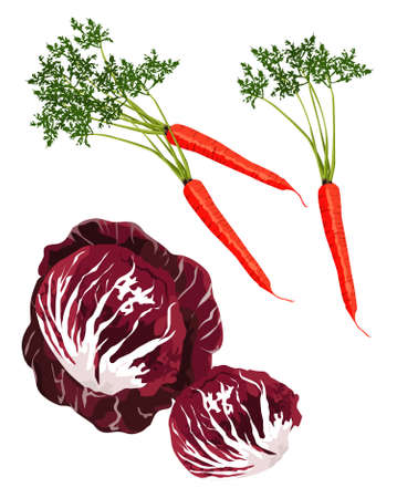 green cabbage: Clip-arts of red cabbage and carrot