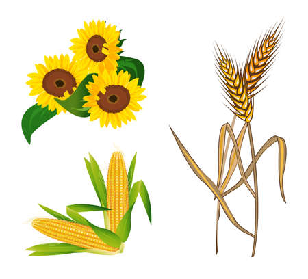 corn flower: Corn, Sunflowers and Wheat illustrations, isolated on white background