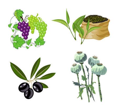 opium poppy: Olive, Grape, Tea and Opium Poppy illustrations, isolated on white background