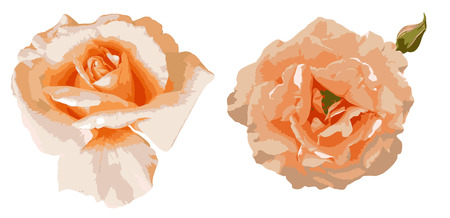 Two beautiful tea roses isolated on white background Vector