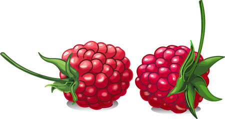 Vector illustration of red and juicy raspberries