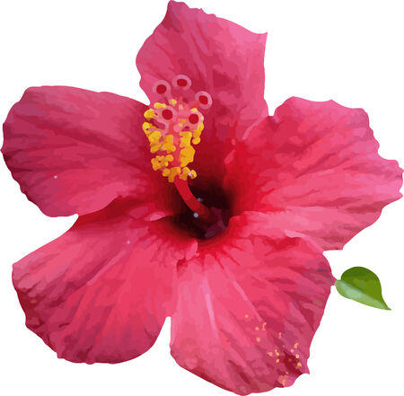 An illustration of a pink hibiscus flower with leave Illustration