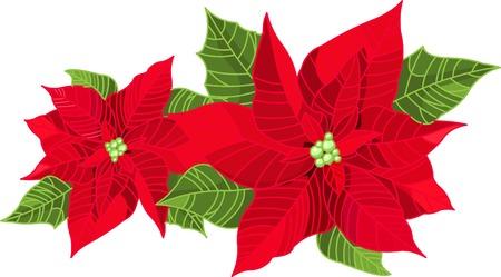 Flor de Euphorbia pulcherrima de decoración de Navidad (Euphorbia pulcherrima) aislado en blanco puro. Ilustración de vector