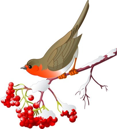 Cute Robin sitting on mountain ash branch. Isolated on white background