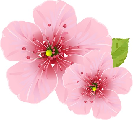 april flowers: Illustration of cherry blossom flowers for your design needed Illustration