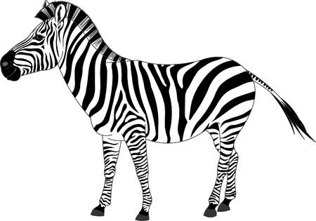 Illustration of zebra  Illustration