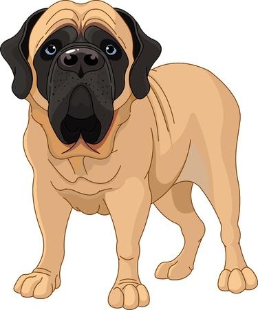 犬歯: 英語マスティフは、白い背景の前に立って