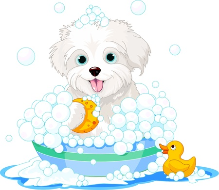lap dog: White fluffy dog having a soapy bath