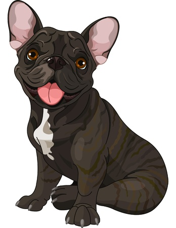 Cute French bulldog, sitting in front of white background