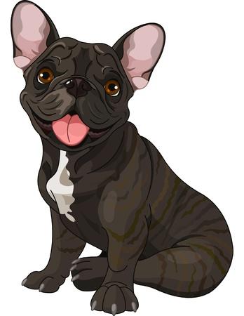 bulldog: Lindo bulldog franc�s, sentado delante de fondo blanco