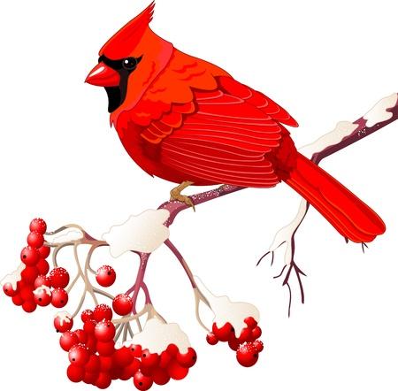 Red Cardinal bird sitting on mountain ash branch