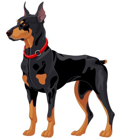 doberman: Illustration der voll konzentriert Wachhund-Dobermann