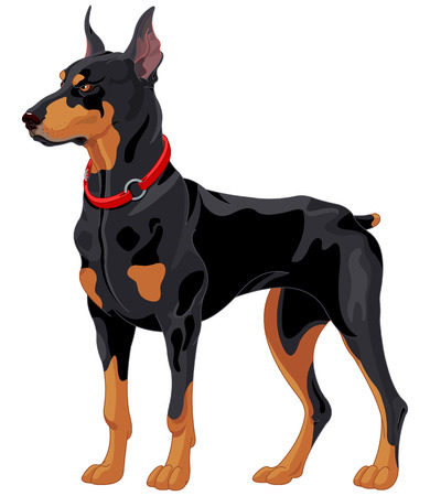 Illustration of fully concentrated guard dog Doberman Illustration