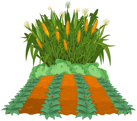 corn field: Planting corn next to the garden beds of weeded  Illustration