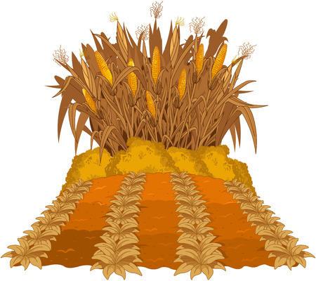 corn fields: Planting corn next to the beds of plant Illustration