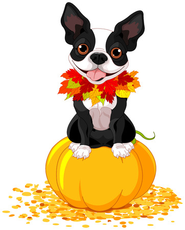 Boston Terrier sits on a pumpkin