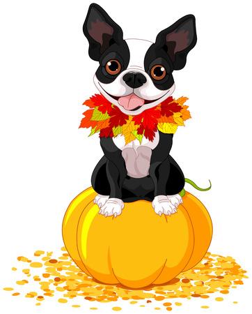 boston terrier: Boston Terrier sits on a pumpkin