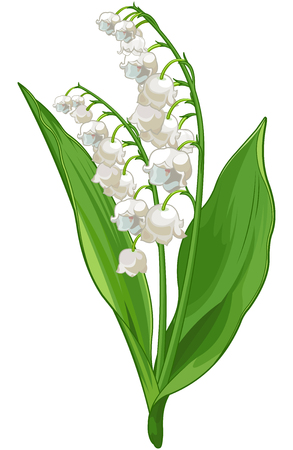 Illustration of Convallaria lily of the valley Фото со стока - 70667103