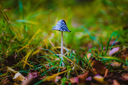 Mushroom Coprinus picaceus in green grass background Standard-Bild