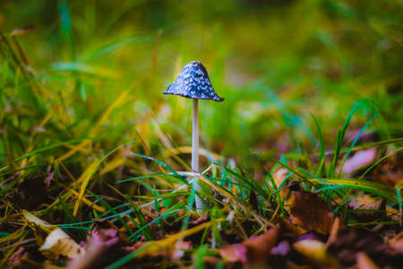 Mushroom Coprinus picaceus in green grass background 写真素材