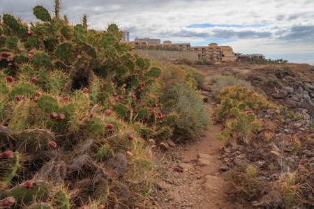 Prickly pear cactus in Callo salvaje, Tenerife Canary islands Stock Photo