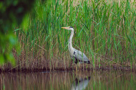 Grey heron are standing in a tall grass near water