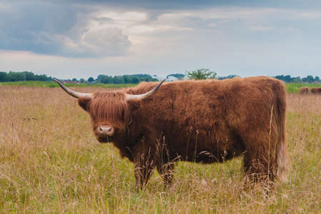 Highland cattle bull on greenfield stormy clouds behind