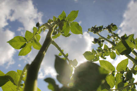 Potato stem growing up to sky. Captured from below