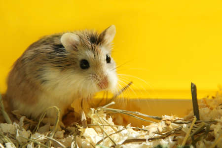 Roborovski hamster cute pet looking - yellow background Reklamní fotografie