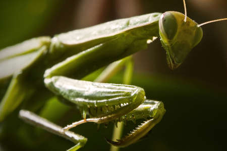 Mantodea, Mantis green insect are siting on leaf