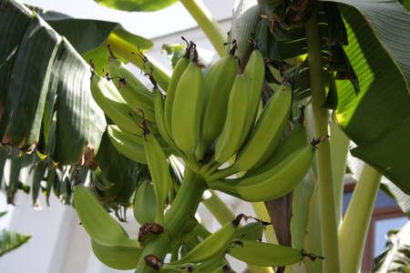 Banana plantation in Tenerife, Canary Islands at winter season