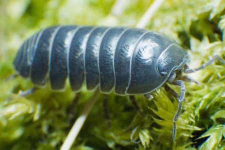 Pill Bug Armadillidium vulgare crawl on moss green background side view Reklamní fotografie - 122352271