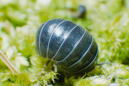 Pill Bug Armadillidium vulgare crawl on moss green background rolled in a ball Reklamní fotografie