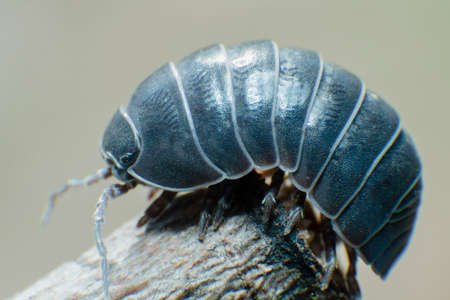 Pill Bug Armadillidium vulgare crawl on branch grey background side view