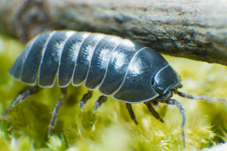 Pill Bug Armadillidium vulgare crawl on moss green background side view